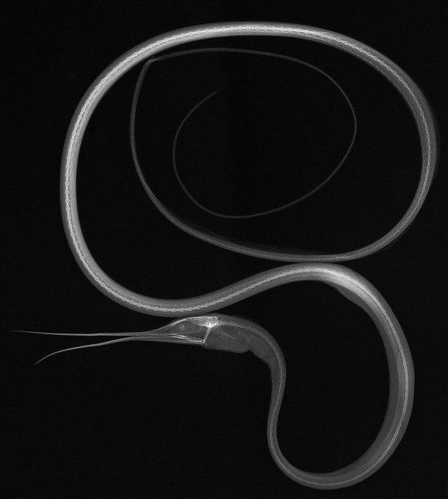 Balıkların X-Ray Görüntüleri: Nemichthys scolopaceus