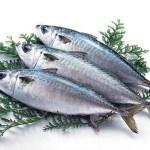 刺身で食べる鯖「長崎さば生産グループ」が共同開発し生産する養殖さば。