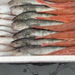 獲れたての魚を3魚種詰め合わせて出荷します。秋田県沿岸 底引き網