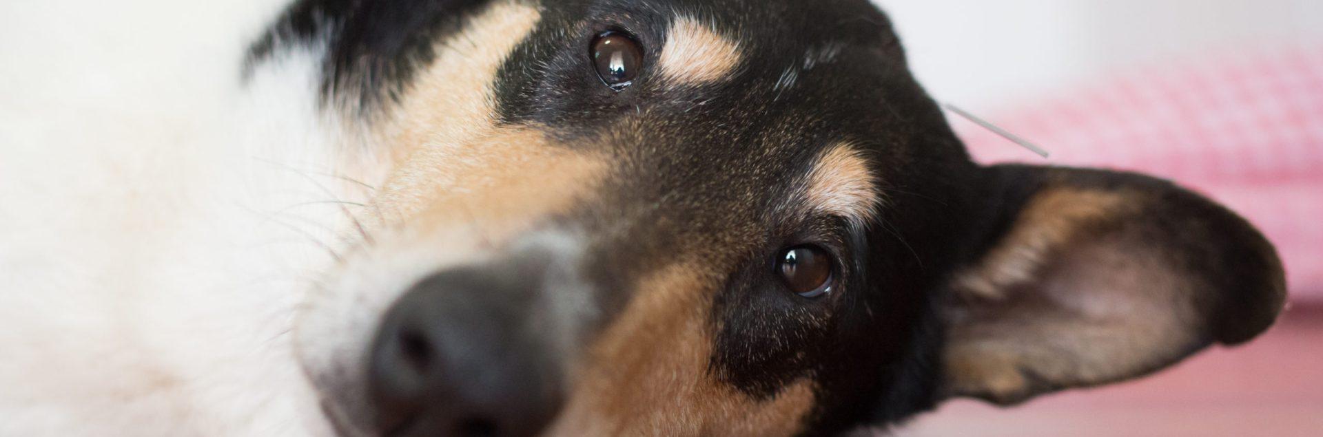 Koira makaa lattialla ja sillä on akupunktioneula päälaella.
