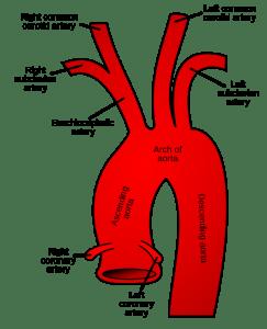 Thorakala aorta