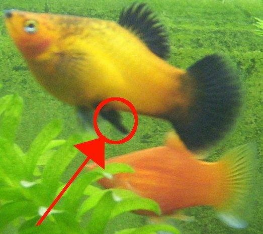Hvordan se hvilken kjønn det er på de levendefødende fiskene dine