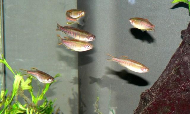 Glødelysdanio (Danio choprae)