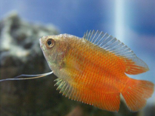Dverggurami (Trichogaster lalius)