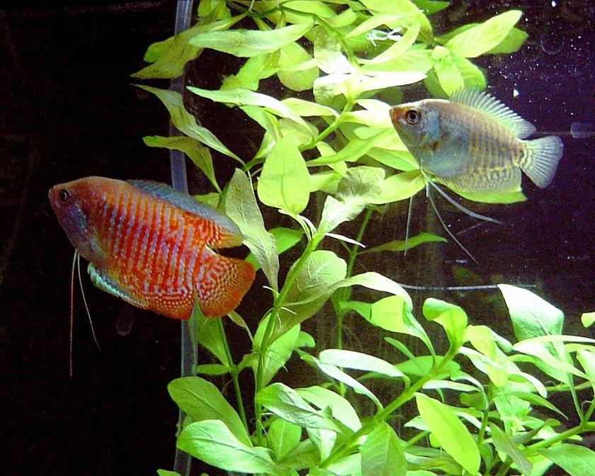 Dverggurami (Trichogaster lalius) par