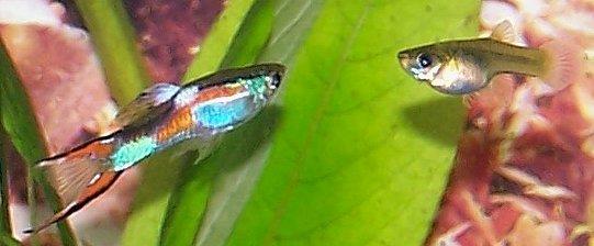 Et par med endlers guppy (Poecilia wingei). Hann på venstre og hunn på høyere