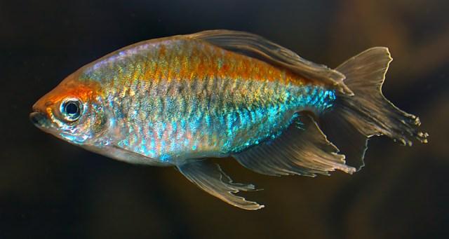 Kongotetra (Phenacogrammus interruptus)