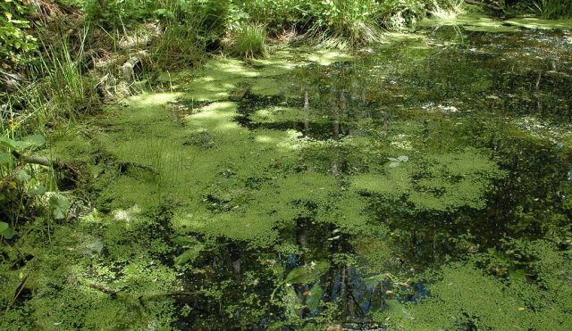 Andemat som har spredt seg til en dam