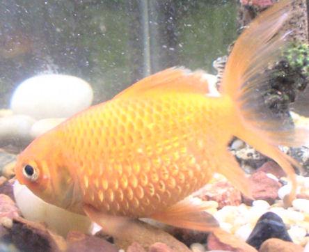 Gullfisk med bukvannsott