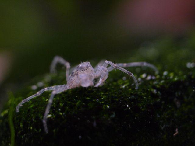 Mikrokrabbe (Limnopilos naiyanetri)