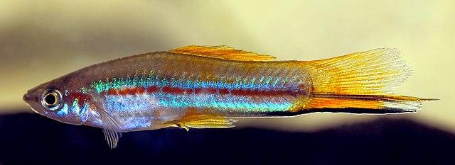 Sverddrager (Xiphophorus helleri) neonvariant
