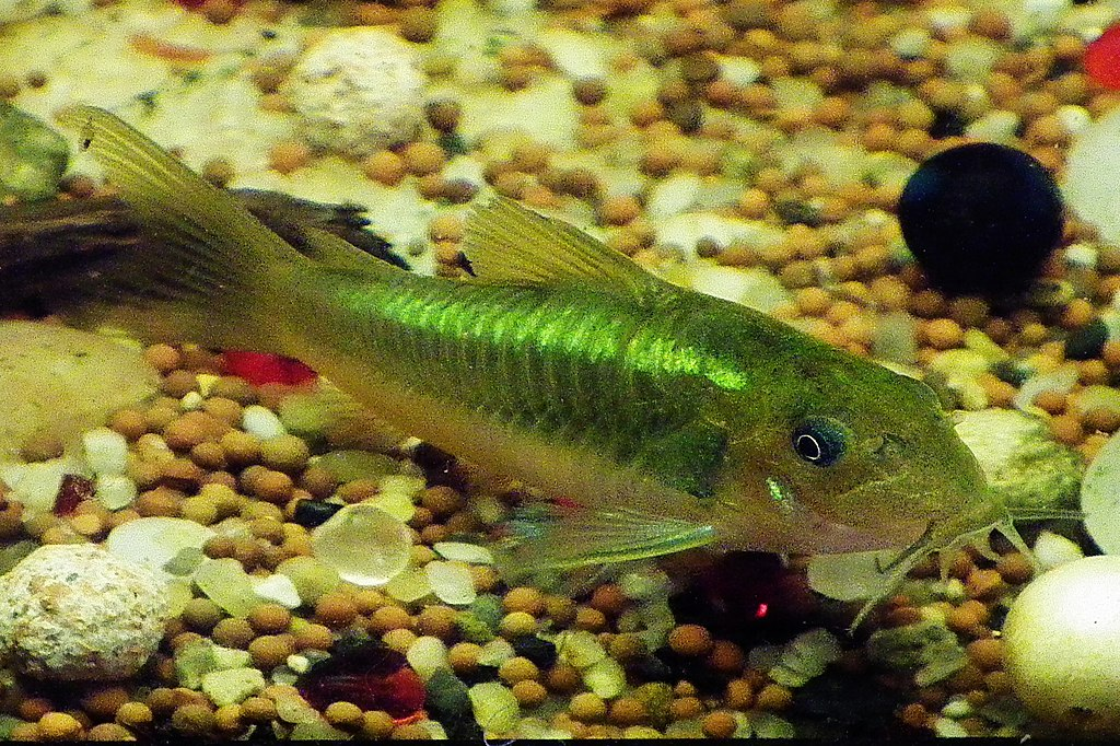 Corydoras sp. «green laser» (CW009)