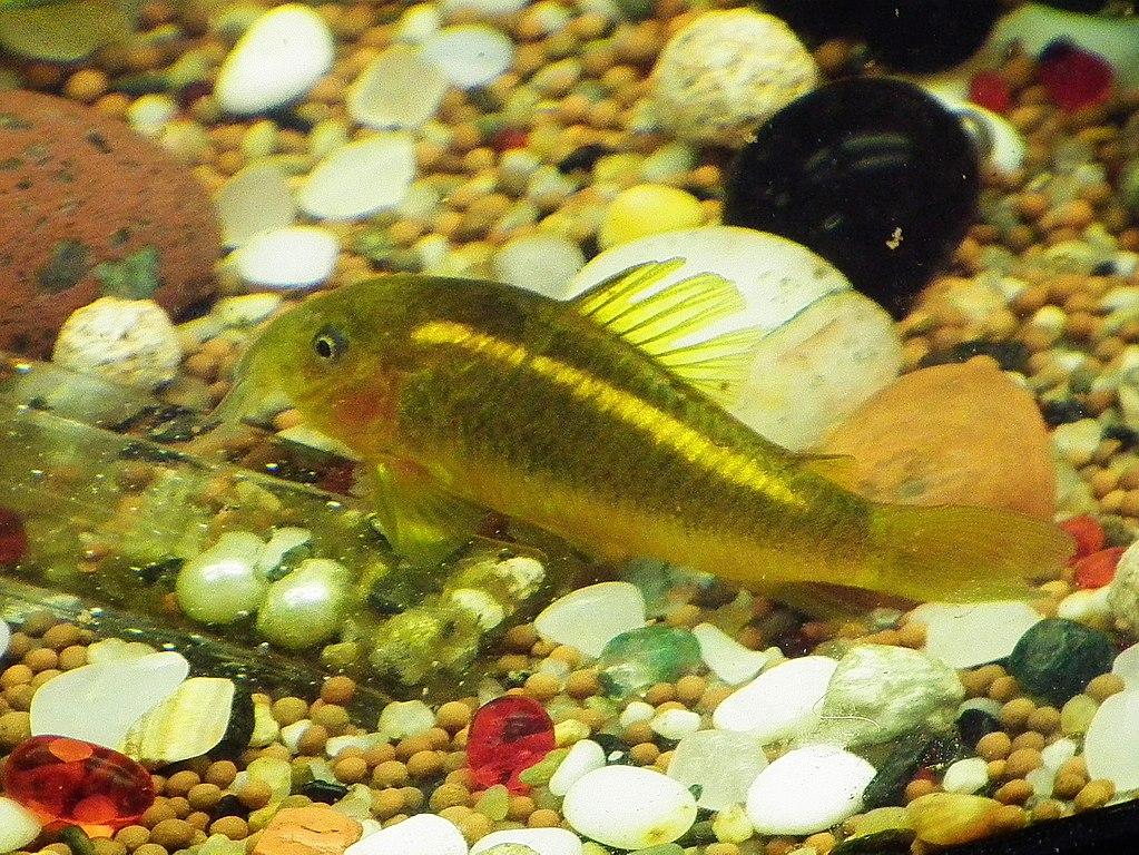 Corydoras sp. «gold laser» (CW010)