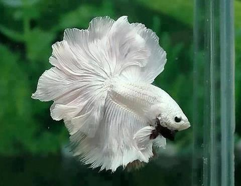 Kampfisk (Betta splendens) white half moon