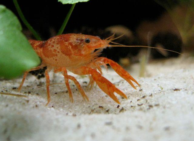 """Meksikansk dvergkreps (Cambarellus patzcuarensis var. """"Orange"""")"""