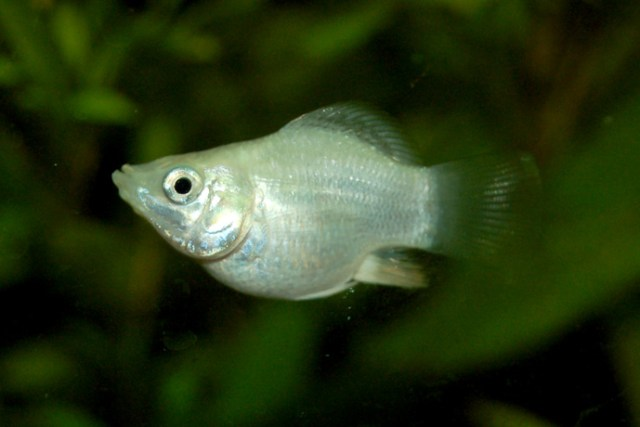 Molly (Poecilia sphenops) variant ballongmolly