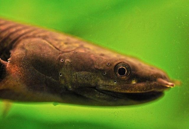 Nærbilde av øreål (Erpetoichthys calabaricus)