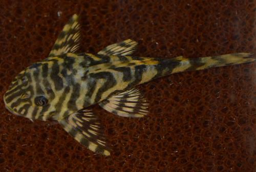 Leopardfroskpleco (Peckoltia compta)