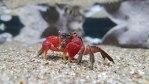 Rød mangrovekrabbe (Pseudosesarma moeshi)