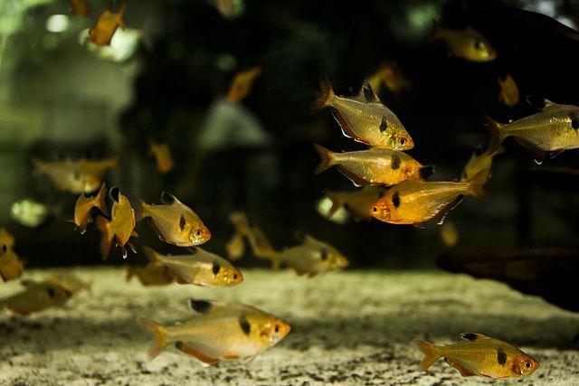 Serpatetra (Hyphessobrycon eques)