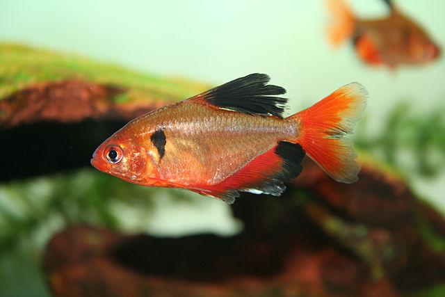 """Serpatetra longfin-variant (Hyphessobrycon eques var. """"longfin"""")"""