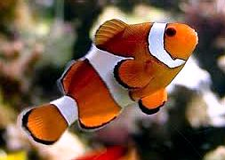 Клоун, анемоновая рыбка