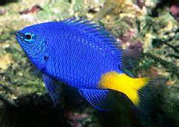 Хризиптера желтохвостая синяя