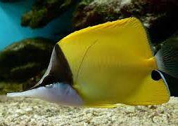 Бабочка-пинцет желтая