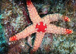 Морская звезда узелковая