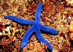 Морская звезда синяя