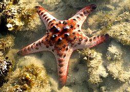 Морская звезда шоколадная рогатая