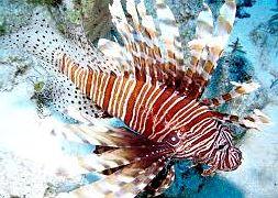 Крылатка полосатая коричневая