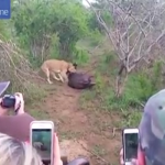 بالفيديو والصور: شاهد..حيوان  يتظاهر بالموت لينجو من بين فكي أسد