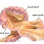 دراسة:المسراق عضو جديد في جسم الإنسان