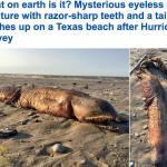 بالصور ..  إعصار  هارفي يقذف حيوان بحري غريب على شواطىء تكساس