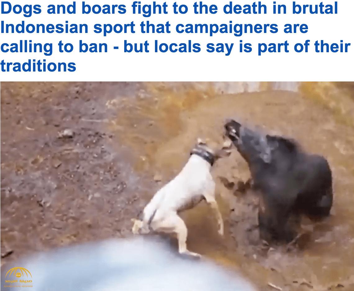 شاهد ..  الكلاب الشرسة والخنازير البرية في حلبة مصارعة بمسابقة بإندونيسيا