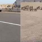 هل تنبأت بوقوع زلزال؟.. شاهد: القرود تقطع طريق «مكة – المدينة»