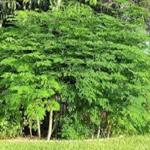 """تعرف على  """"الشجرة المعجزة"""".. تُعالج الأمراض وتحتوي على الكالسيوم والحديد !"""