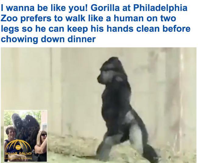 شاهد .. غوريلا يتجول على قدميه مثل الإنسان للحفاظ على نظافة يديه قبل أن يأكل