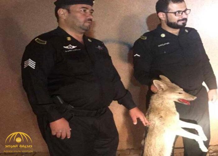 بالصور..  شرطة حفر الباطن تطلق النار على ذئب وترديه قتيلا بعد تجوله داخل حي سكني بالمحافظة