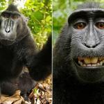 بعد أن استمر النزاع حولها طويلًا.. محكمة أمريكية تحسم الجدل في «سيلفي القرد الضاحك»