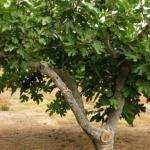 شجرة تين نمت في منطقة قاحلة تقود لكشف سر غامض