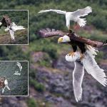 """شاهد صور مذهلة :  نسر أمريكي ضخم  يخطف  """"طائر النورس"""" من بين رفاقه !"""