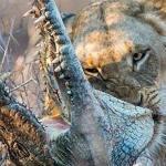 شاهد.. لحظة التهام أنثى أسد تمساحا ضخما وتمزيق جسده بأسنانها