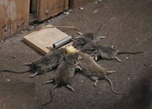 شركة مكافحة قوارض بتبوك شركة مكافحة قوارض بتبوك 0501515313 Combat rodents Tabuk company
