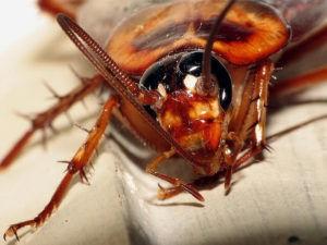 شركة مكافحة صراصير بحائل شركة مكافحة صراصير بحائل 0533942974 Combating cockroaches company Hail