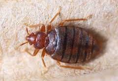 القضاء على حشرة البق