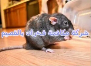 شركة مكافحة الفئران بالقصيم
