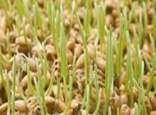 طريقة اعداد القمح المنبت