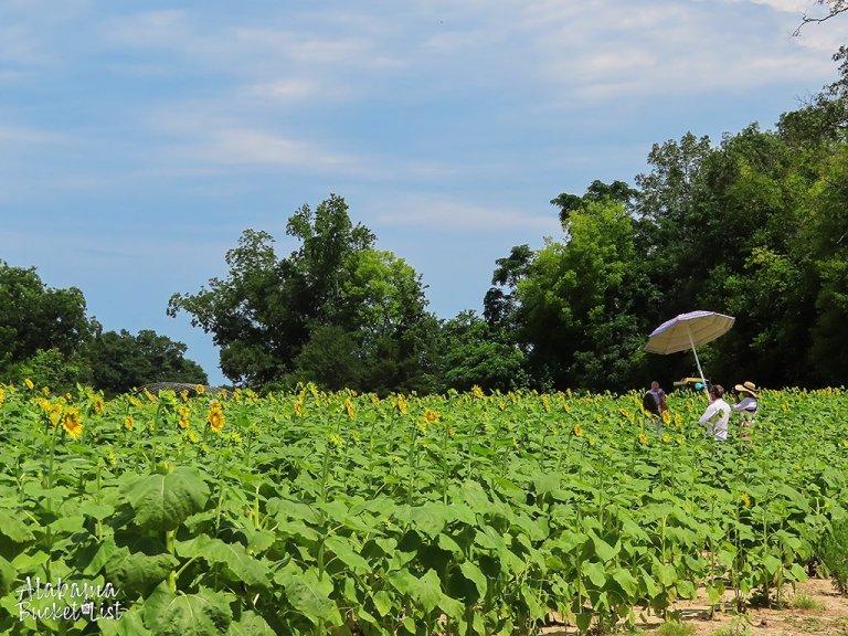 Sunflower Fields in Alabama-21